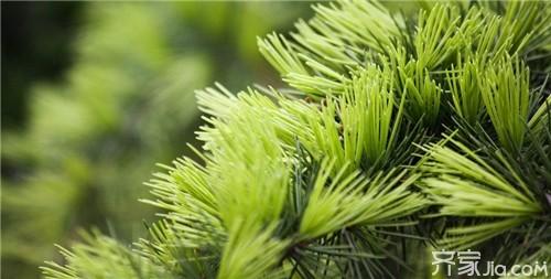 既然松树能长青,那么松树的叶子,松树的皮,松树的花和松树的果,是不是