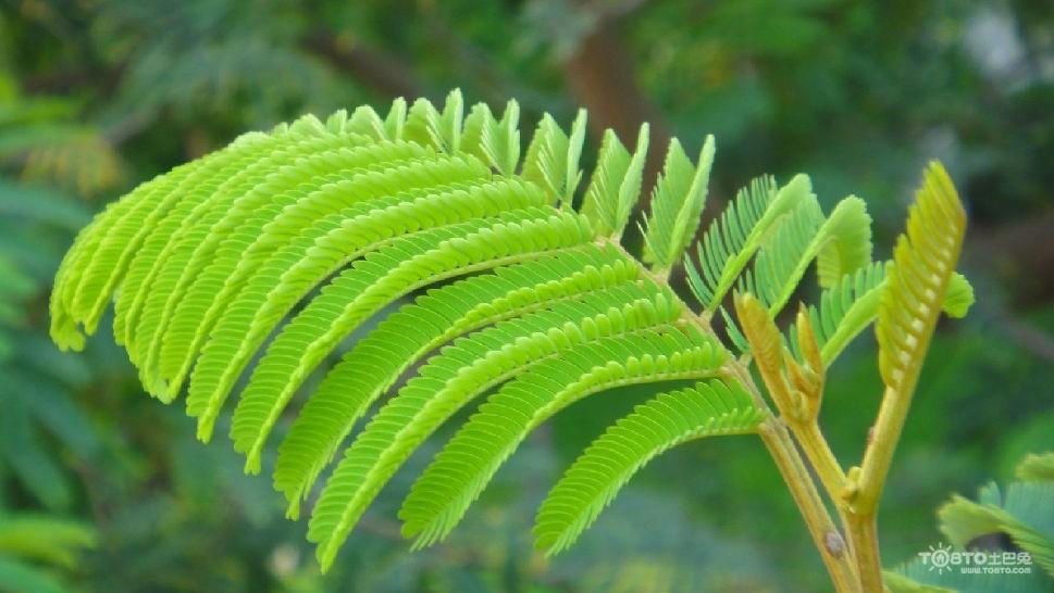 6个小窍门介绍  含羞草的一排复叶互生的叶片在受到雨水撞击,动物触摸图片