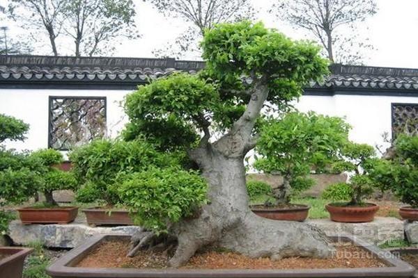 其次,榆树盆景造型时应根据老桩的基本形态,经过.