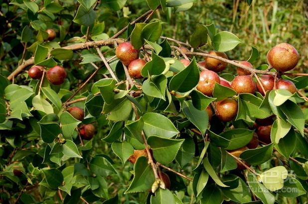 装修新闻 金茶花价格你了解多少  油茶树嫁接茶花技术可是非常盛行的