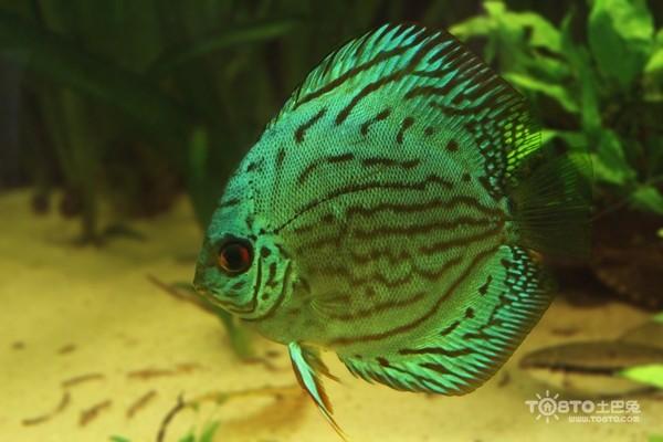 七彩神仙鱼常见病因 助您健康养鱼