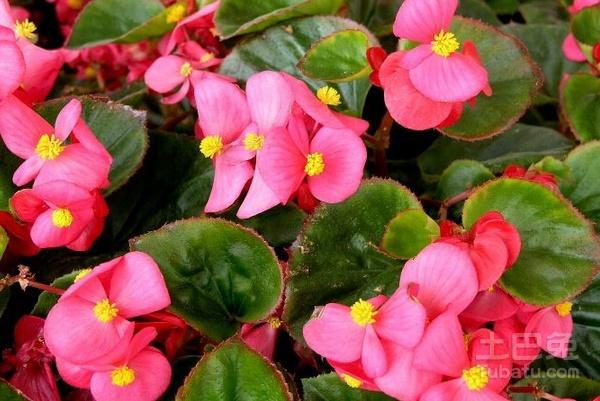四季秋海棠花图片及养殖注意事项
