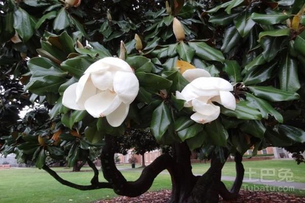 橡皮树开花吗? 橡皮树图片欣赏
